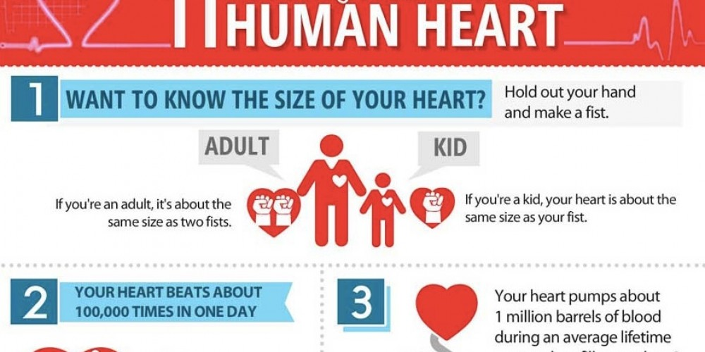 Human Heart – 11 Fascinating Facts